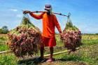 Mentan Pastikan Produksi Bawang Merah Melimpah