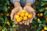 Lambang Keberuntungan, Pohon Jeruk Kim Kit Asal China Diburu Pembeli Jelang Imlek