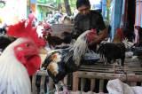 Harga Ayam Kampung Tembus Rp 230.000/Ekor Nih Bun