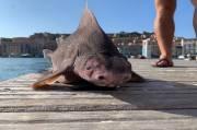 Viral, Ikan Bertubuh Hiu tapi Bewajah Babi