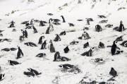 Segerombolan Lebah Bunuh 60 Penguin Afrika Langka
