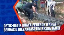 Detik-detik Buaya Peneror Warga Berhasil Dievakuasi Tim BKSDA Jambi