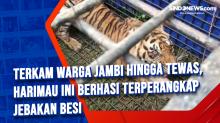 Terkam Warga Jambi Hingga Tewas, Harimau Ini Berhasi Terperangkap Jebakan Besi