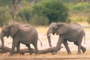 Asyik Jalan-jalan, Kakek Asal Afsel Tewas Diinjak-injak Gajah