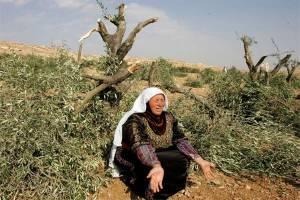 Nestapa Petani Palestina di Tepi Barat, Kebun Zaitun Siap Panen Dijarah Pemukim Israel