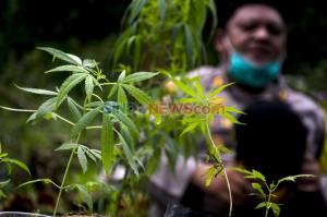 Polres Cimahi Temukan Ladang Ganja Seluas 1 Hektare di Kabupaten Bandung