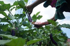 Petani Manfaatkan Lahan Kosong di Tengah Kota Makassar