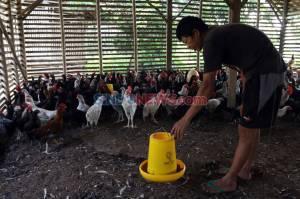 Selama Pandemi Covid-19, Peternak Kesulitan Menjual Ayam