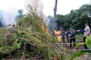 BNN Aceh Musnahkan 15 Ribu Batang Pohon Ganja
