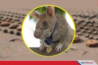 Deteksi Puluhan Ranjau, Tikus Ini Dapat Medali Emas