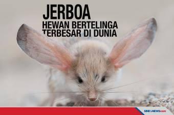 Jerboa, Hewan dengan Telinga Terbesar di Dunia
