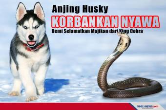 Anjing Husky Korbankan Nyawa demi Selamatkan Majikan