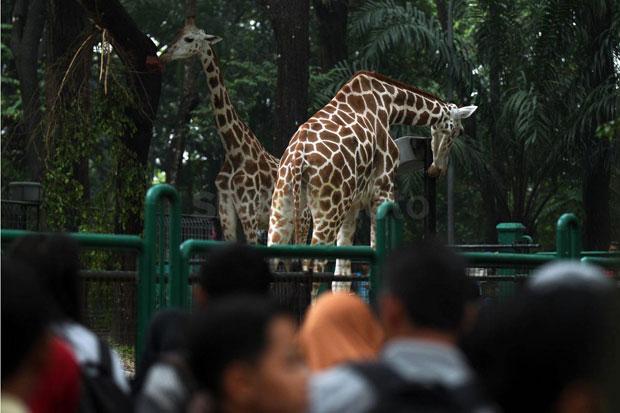 Wisata Kebun Binatang Ragunan Tetap Buka, Harus Daftar Online Dulu