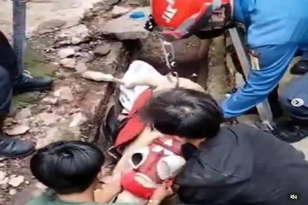 Begini Aksi Petugas Damkar DKI Selamatkan Kuda Terjebak di Got