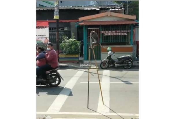Sudah Dilarang Pemprov DKI, Atraksi Topeng Monyet Kembali Terlihat di Jakarta Utara