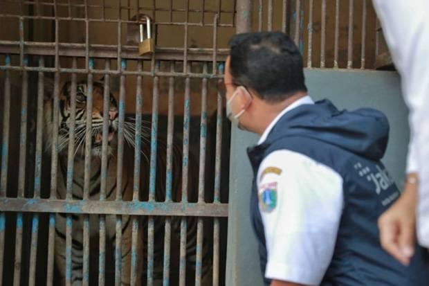 Tengok 2 Harimau Terpapar Covid-19 di TMR, Anies: Hari dan Tino Tidak Harus Buru-buru WFO
