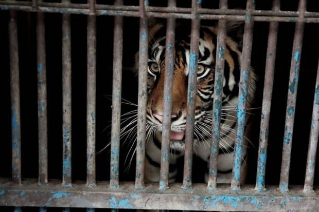 Begini Ceritanya 2 Harimau Sumatera di Ragunan Bisa Terinfeksi Corona