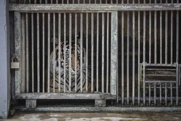 Tino, Harimau Sumatera yang Terpapar Covid-19 di Ragunan