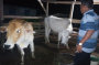 Peternak di Simalungun Cemas, Jelang Puasa Penjualan Sapi Landai