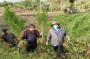 Tanam 50 Batang Pohon Ganja Disamping Tanaman Cabai, Petani di Simalungun Ditangkap