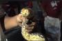 Heboh, Penangkapan Ular Piton Raksasa di Jalan Cokro Probolinggo Jadi Tontonan Warga