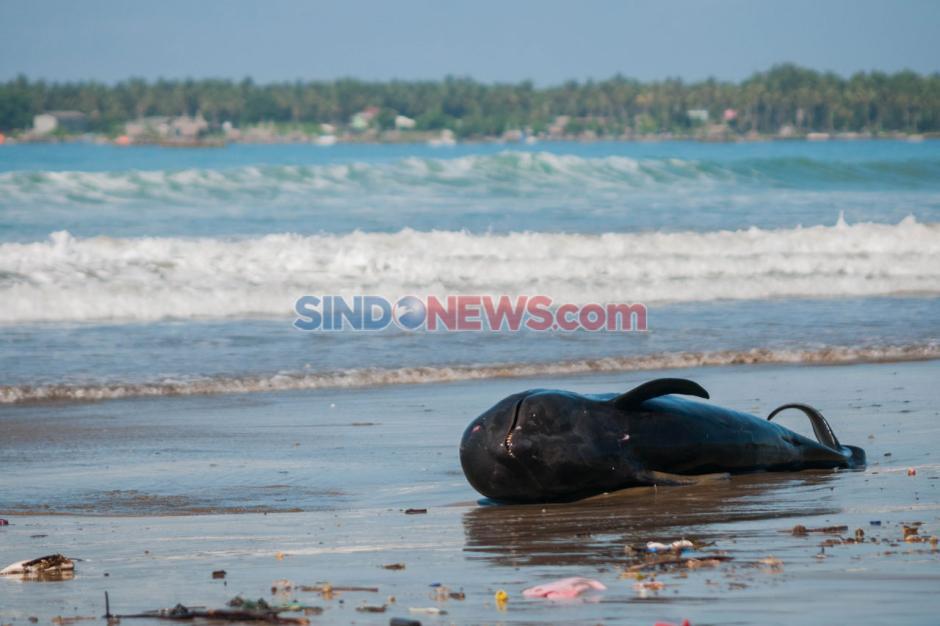 Paus Pilot Terdampar di Pantai Cemara Binuangeun Lebak-3