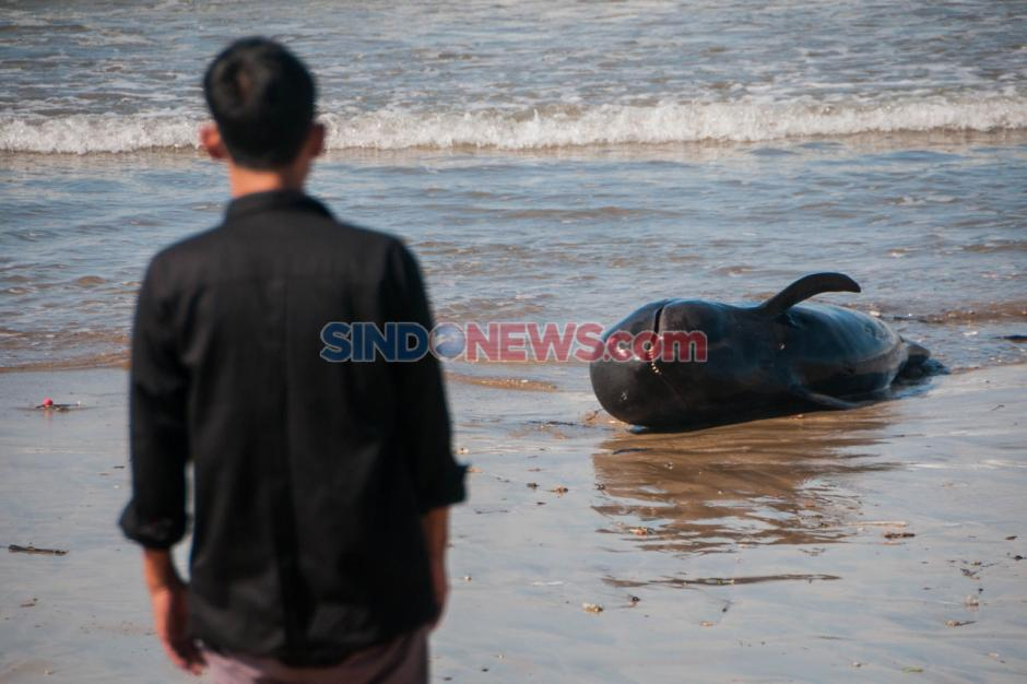 Paus Pilot Terdampar di Pantai Cemara Binuangeun Lebak-0
