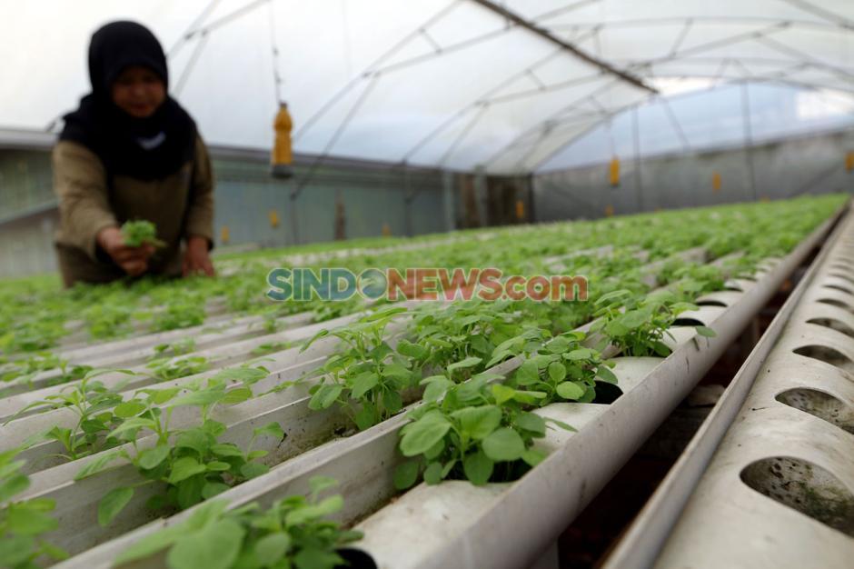 Pandemi COVID-19, Permintaan Sayuran Hidroponik Naik 200 Persen-2
