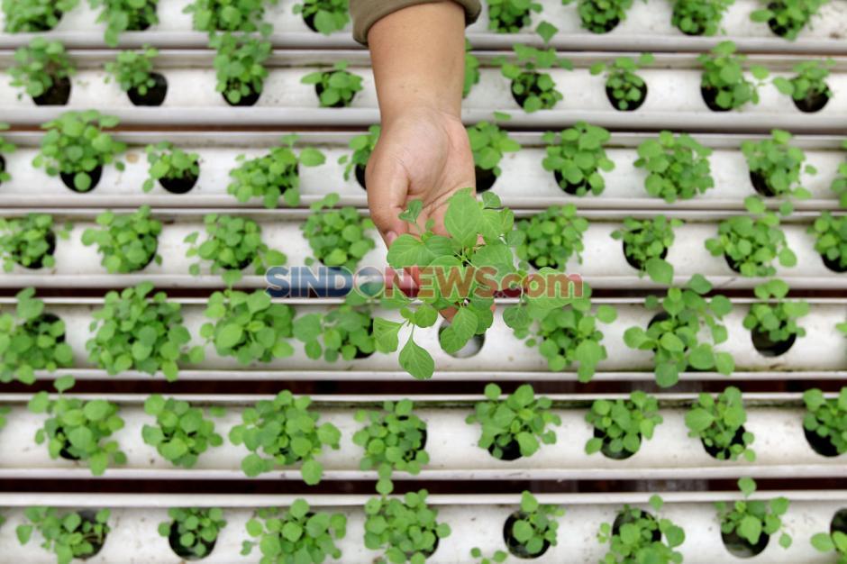 Pandemi COVID-19, Permintaan Sayuran Hidroponik Naik 200 Persen-4