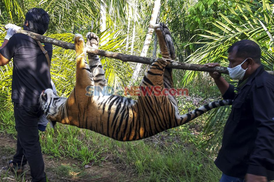 Diduga Diracun, Seekor Harimau Sumatra Mati di Kawasan Perkebunan-0