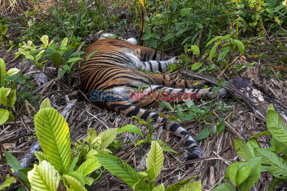 Diduga Diracun, Seekor Harimau Sumatra Mati di Kawasan Perkebunan-2