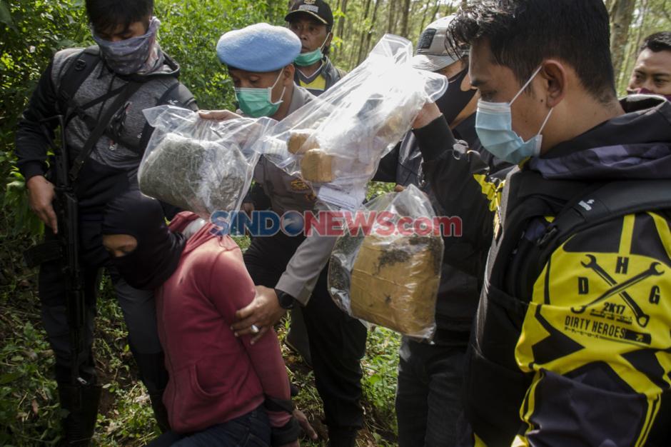 Polres Cimahi Temukan Ladang Ganja Seluas 1 Hektare di Kabupaten Bandung-0