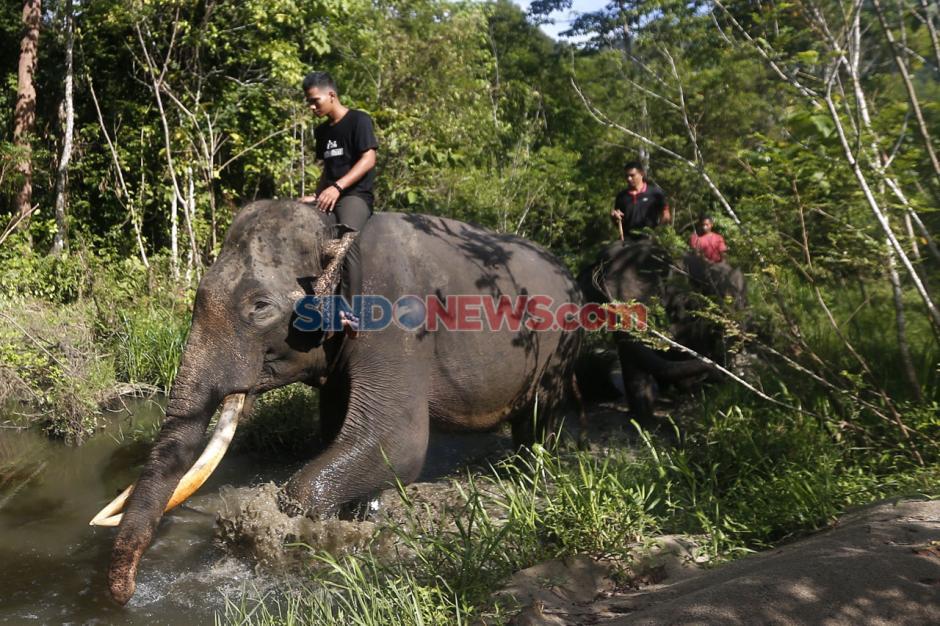 Tunggangi Gajah, CRU Sampoiniet Patroli Pencegahan Konflik Satwa-1