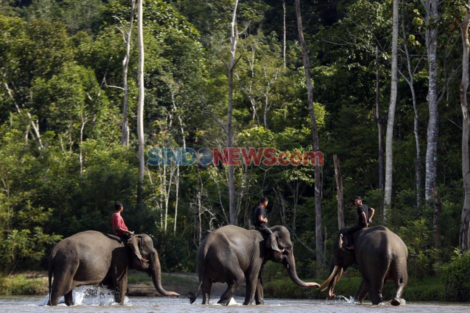 Tunggangi Gajah, CRU Sampoiniet Patroli Pencegahan Konflik Satwa-0