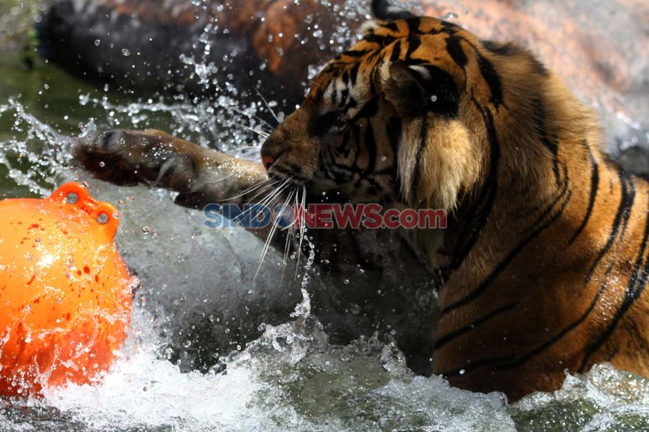 Dukung Konservasi , Jatim Park 2 Peringati Hari Harimau Sedunia-1