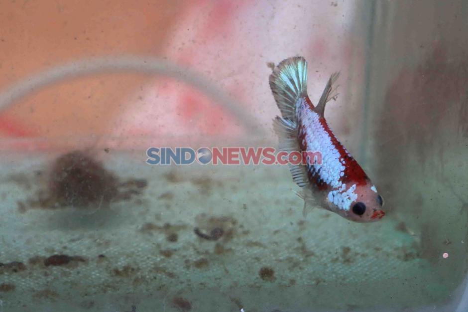 Ikan Cupang Makin Diminati di Masa Pandemi Covid-19-2