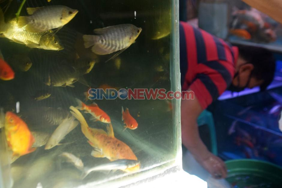 Permintaan Ikan Hias di Semarang Meningkat Selama Pandemi Covid-19-2