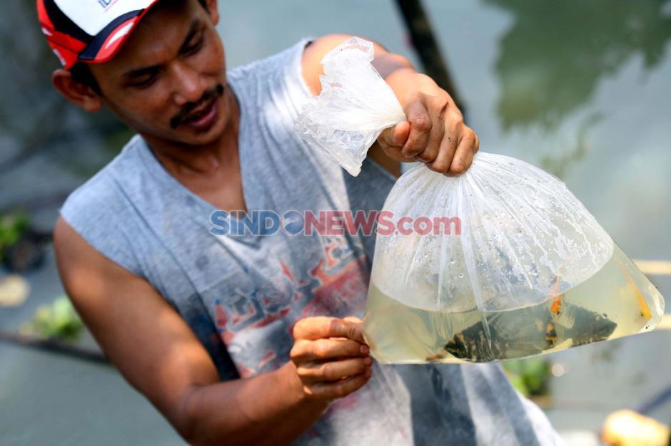Permintaan Ikan Hias Meningkat di Masa Pandemi-6