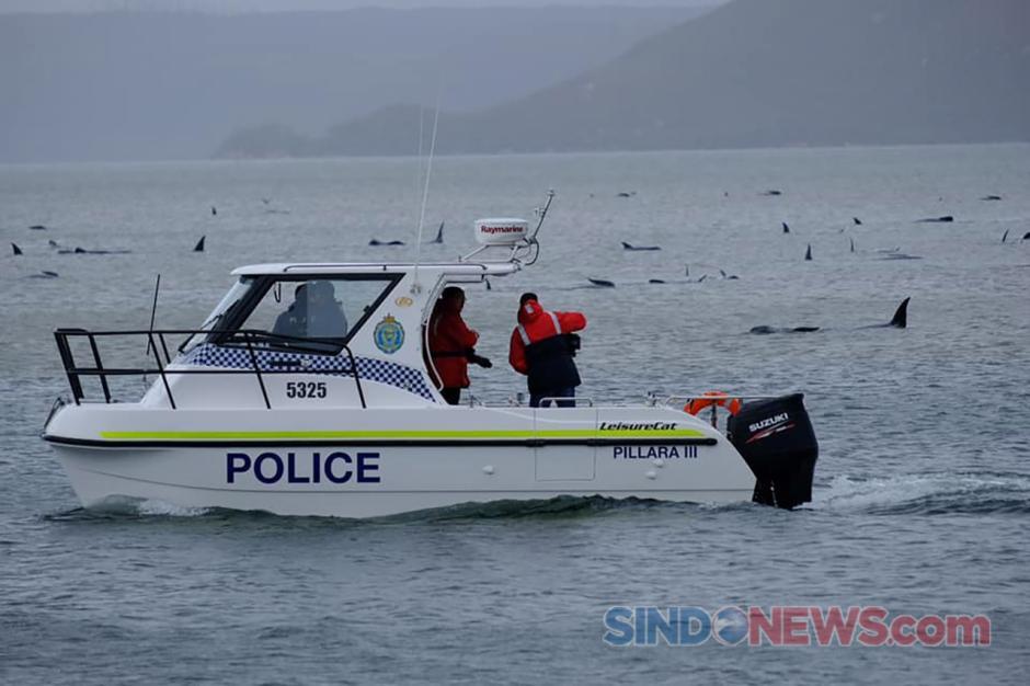 Penyelamatan Ratusan Paus Pilot yang Terdampar di Laut Australia-3