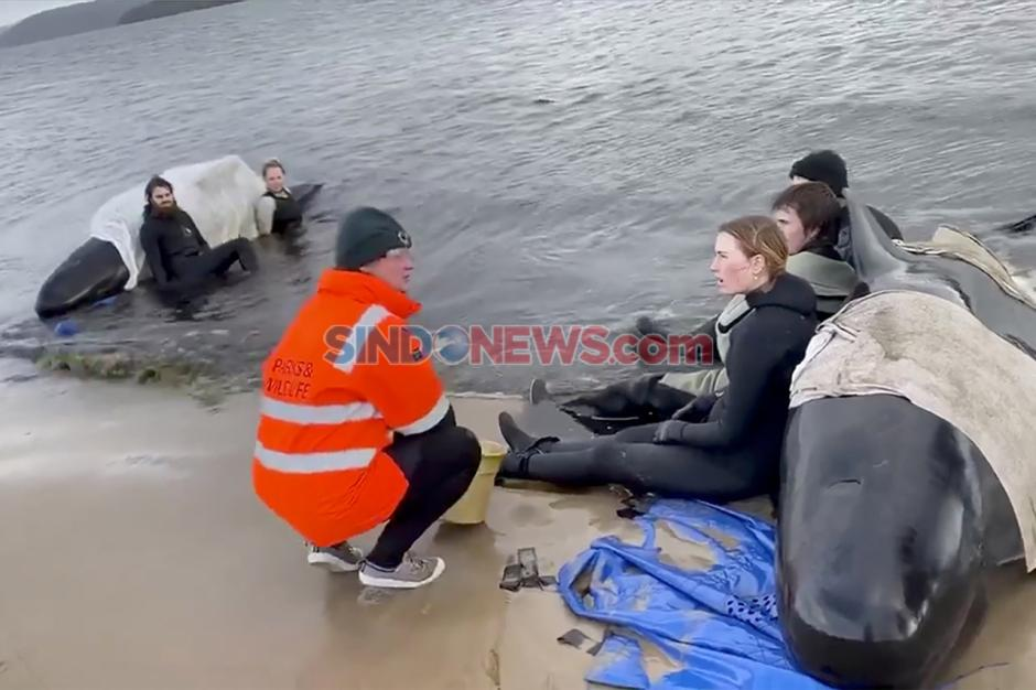 Ratusan Paus Pilot yang Terdampar di Pantai Pulau Tasmania Mati-1