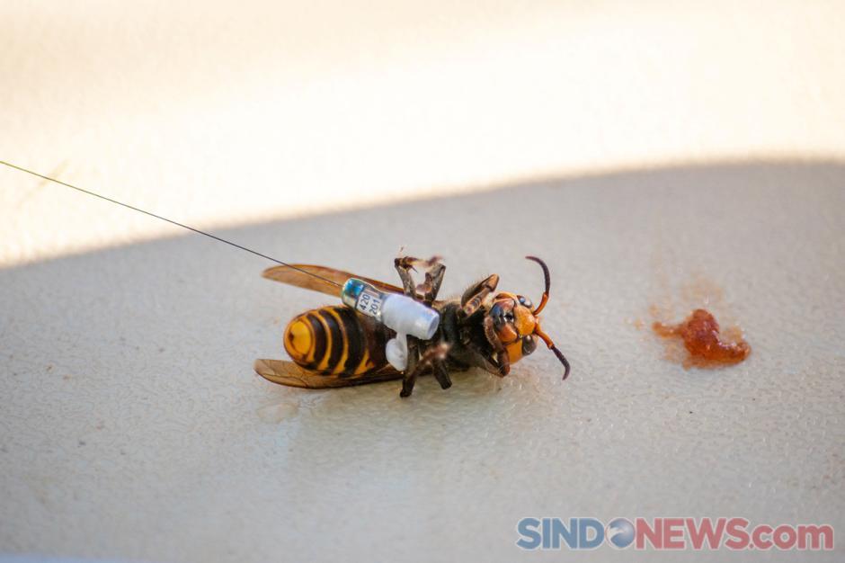 Sarang Lebah Raksasa Pembunuh Asal Asia Ditemukan di Washington-1