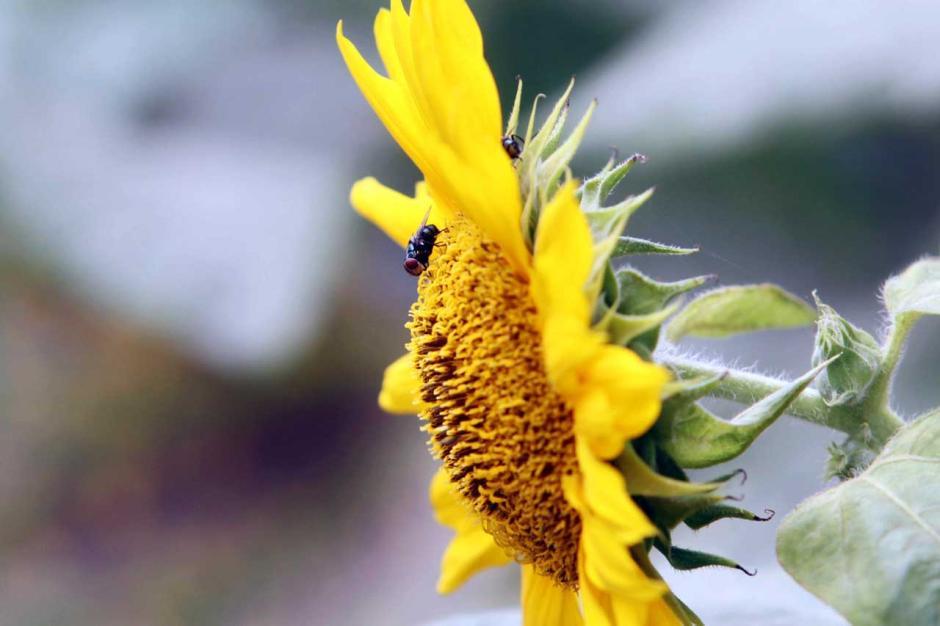 Melihat Cantiknya Bunga Matahari Hiasi Bantaran Kali Malang-1