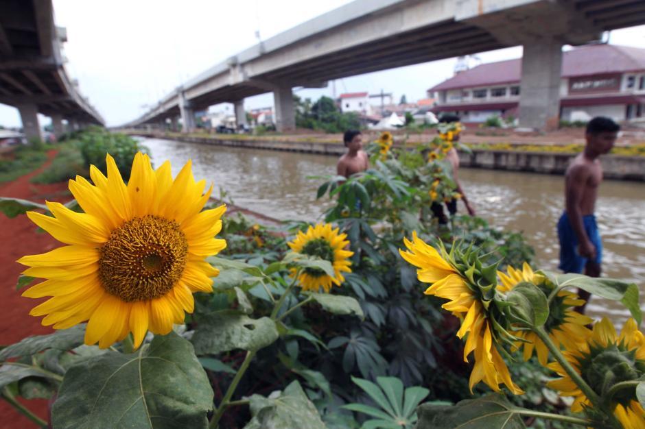Melihat Cantiknya Bunga Matahari Hiasi Bantaran Kali Malang-4