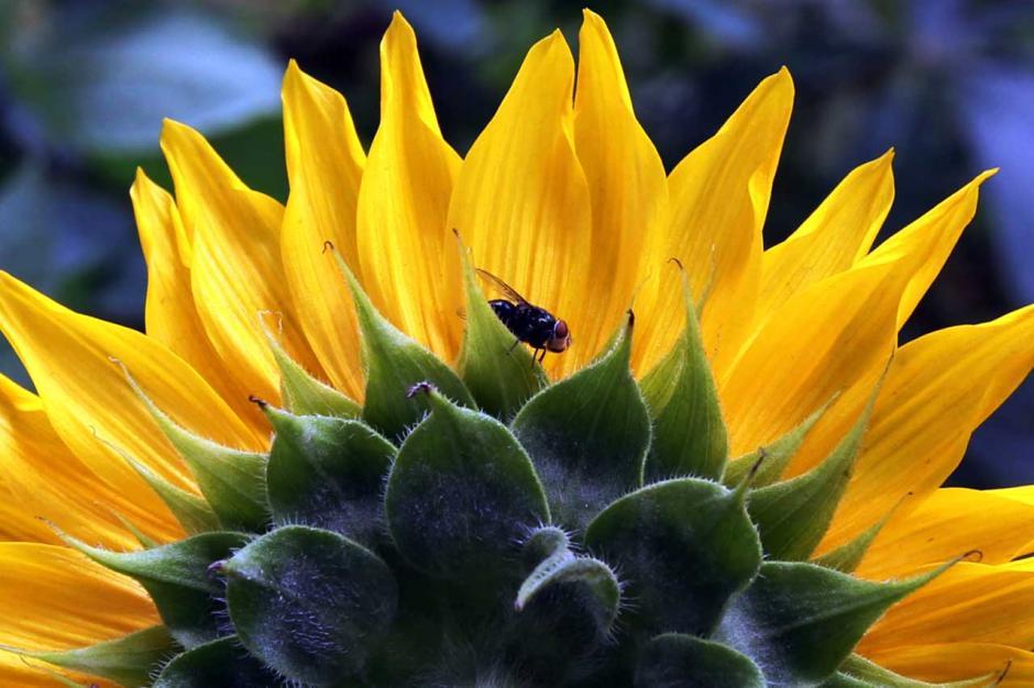 Melihat Cantiknya Bunga Matahari Hiasi Bantaran Kali Malang-3