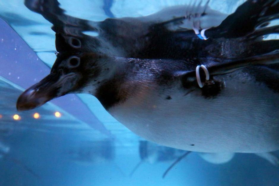 Jakarta Aquarium Safari Hadirkan Atraksi Pinguin di Resto Pingoo-1