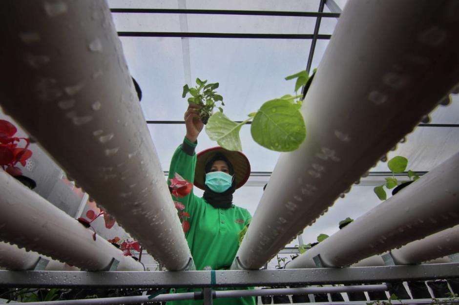 Jaga Ketahanan Pangan, Rumah Bibit Anging Mammiri Kembangkan Sayur Hidroponik-3