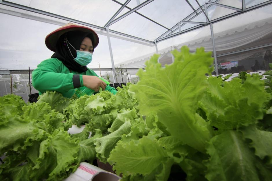 Jaga Ketahanan Pangan, Rumah Bibit Anging Mammiri Kembangkan Sayur Hidroponik-1