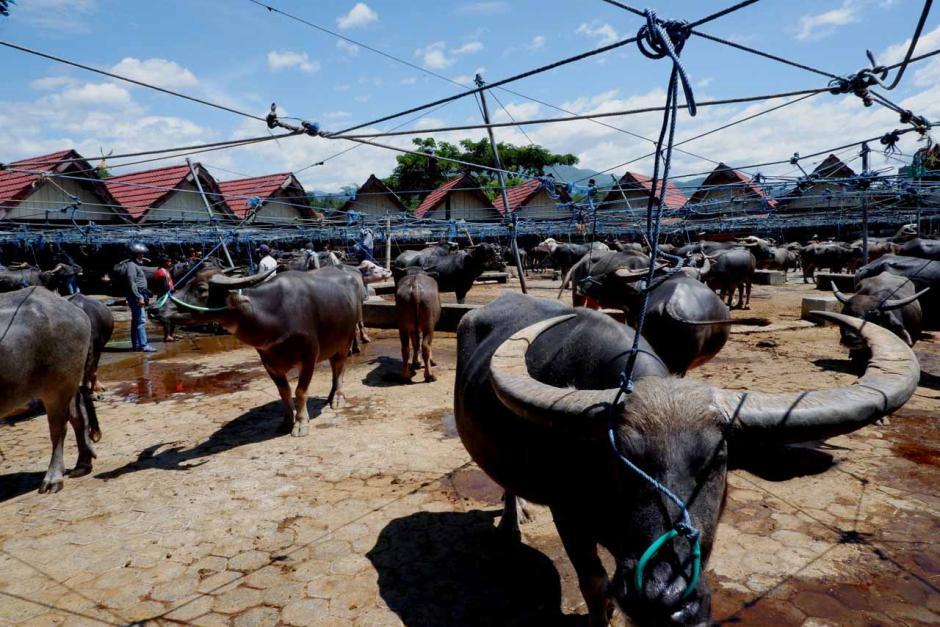 Pasar Kerbau Terbesar di Dunia ada di Toraja-1