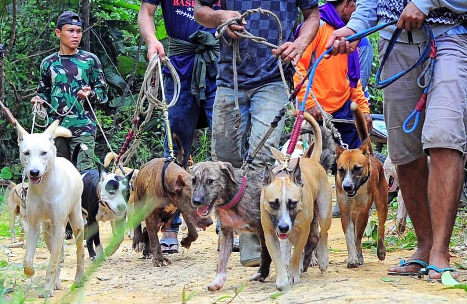 Olahraga Berburu Babi di Jambi-2