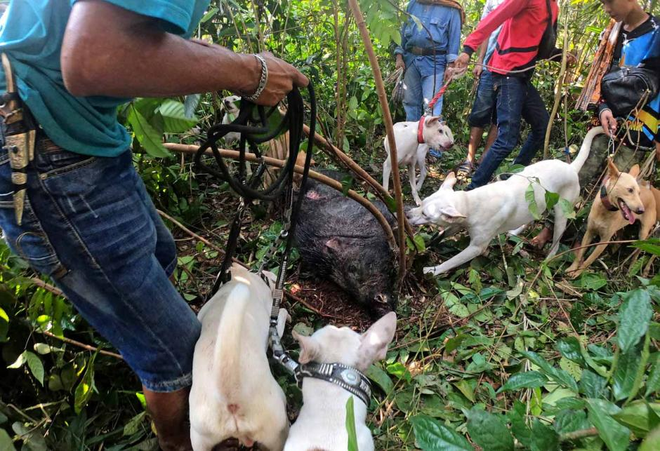 Olahraga Berburu Babi di Jambi-1